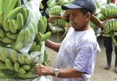 Banane, cosa c'è dietro la produzione
